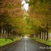メタセコイア並木の紅葉1
