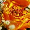 1月のバラの朽ちてゆく美しさ♪
