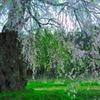 安曇野の古木桜