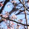 平野の寒桜
