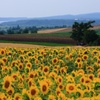 大空町の向日葵畑