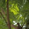 いかにも熱帯な街路樹