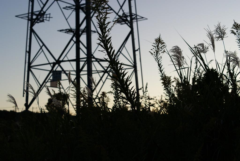 black pampas grass