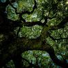 小瀬田の巨樹