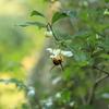 丸々と太ったミツバチ