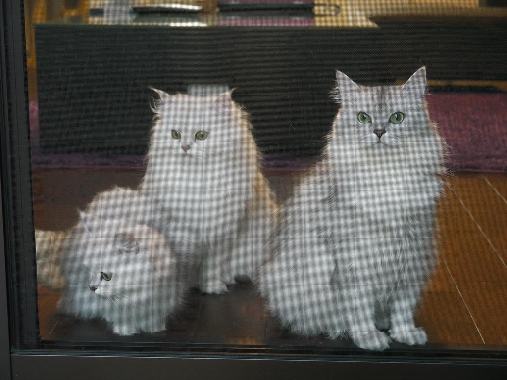 我が家のチンチラ3姉妹