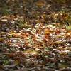 落ち葉の絨毯