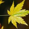 一枚の黄葉