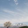 14.一本桜