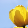 幸運の色よし!黄色よし!花弁よし!