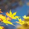 黄色い紅葉と^^
