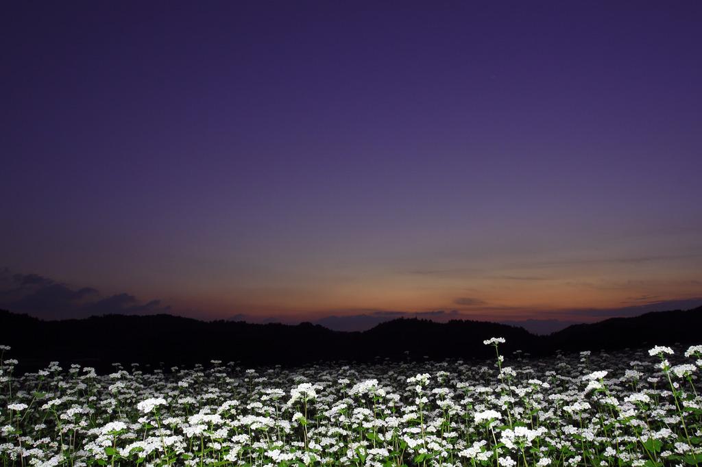 夕暮れ時の蕎麦の花