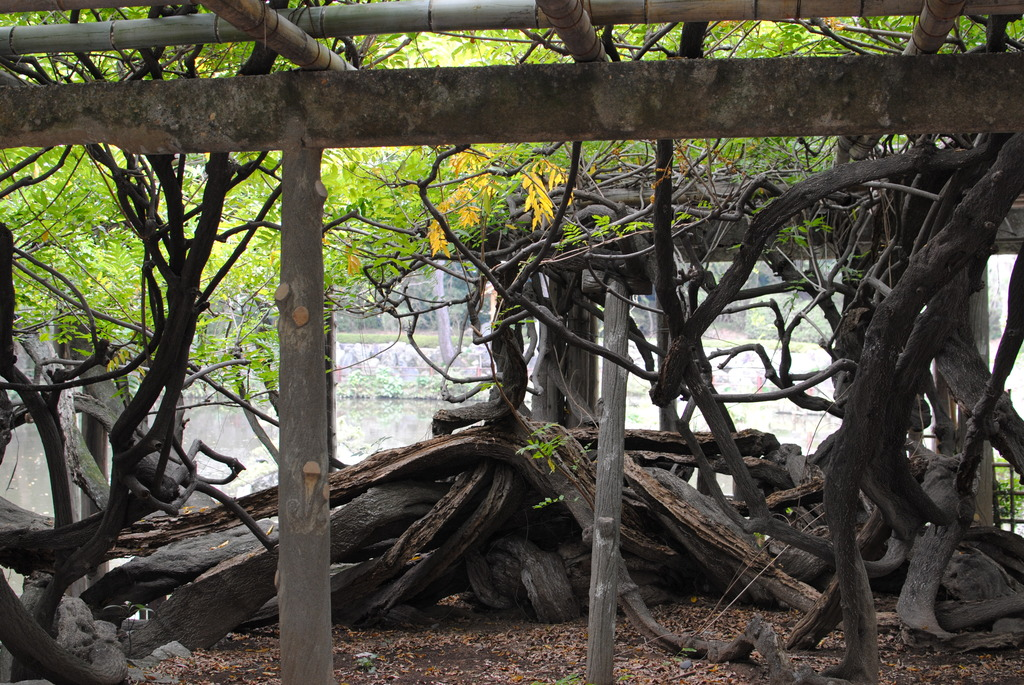秋の藤の木