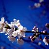 青空に桜開花