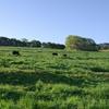 放牧地で足腰を鍛える牛たち
