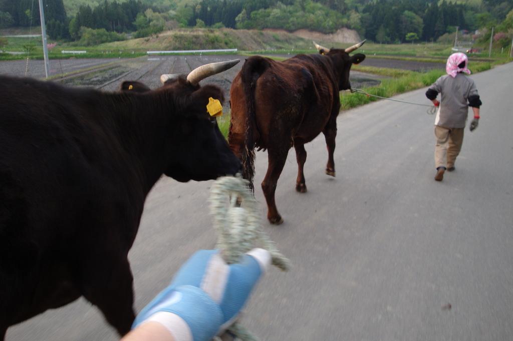 放牧地へ牛を連れて行く母と私