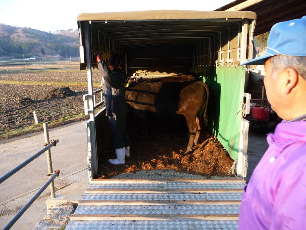 セリ市場に連れていく子牛を見守る父