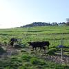 草を食べに向かう牛たち