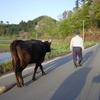 牛を放牧地へ連れて行く父と私