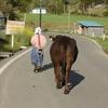 牛を減反している放牧地へ連れて行く母
