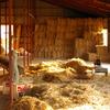 牛舎の2階に運び込まれる稲ワラ