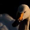 白鳥プロマイド