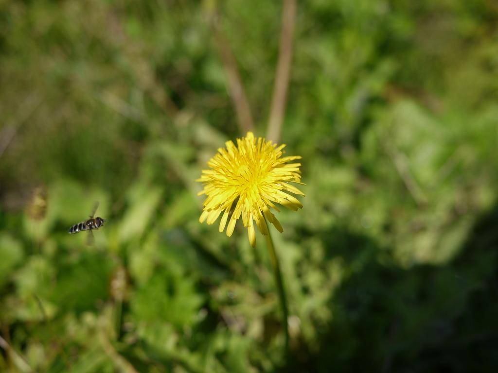 タンポポとハチ