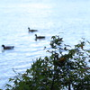 川に浮かぶ鴨の親子