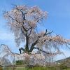 京都・八坂神社のしだれ桜