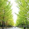 初秋の銀杏並木