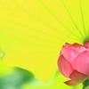 『蓮の傘』