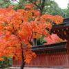 『神護寺の紅葉』