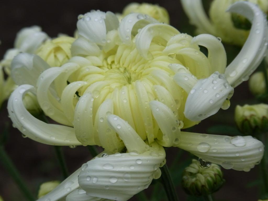 雨上がりの菊
