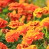 花壇の花(旧古河庭園)