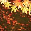 黄金色の紅葉