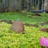 ねずみの葉
