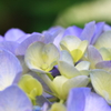 松尾大社紫陽花(1)