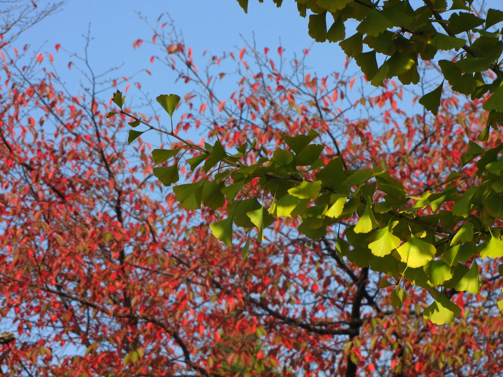 銀杏の紅葉