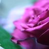 Rose Drop * トモダチ… *