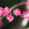 小石川後楽園 梅