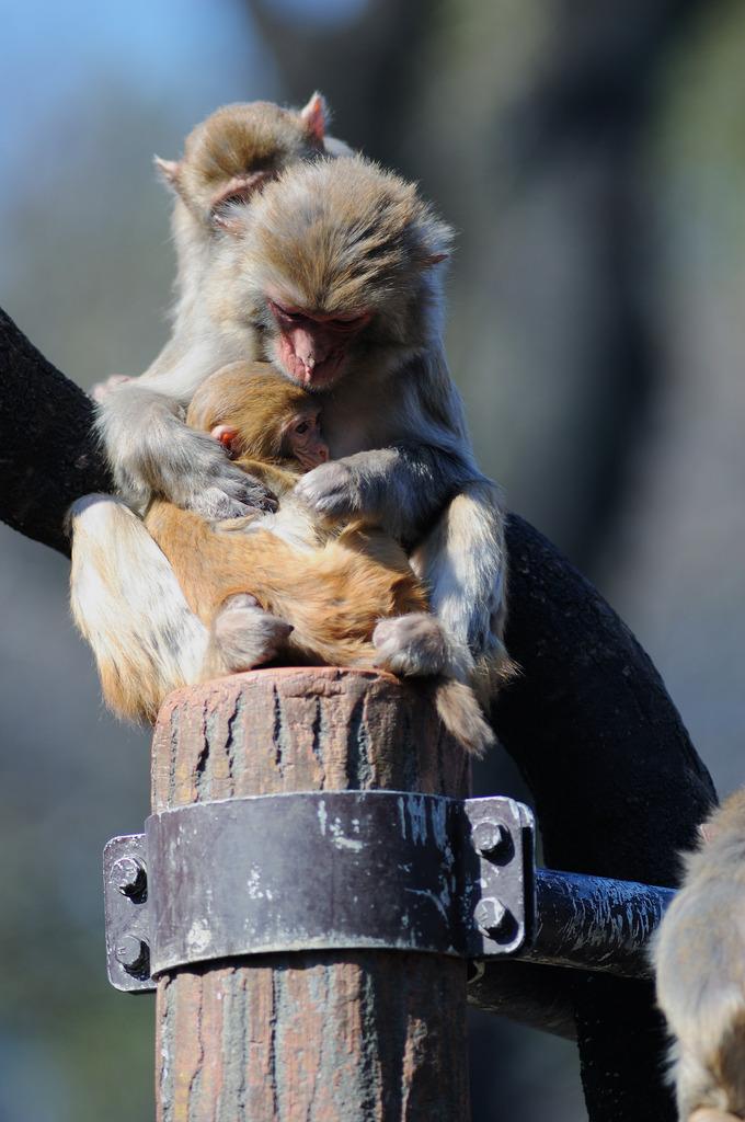 サルの親子
