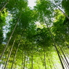 IMG_1235修善寺の竹林