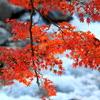 IMG_1266修善寺の紅葉5