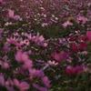 咲き乱れる