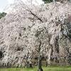 京都御苑の枝垂れ桜。(201004)