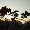 夕景と薔薇。