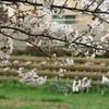 桜と思い出