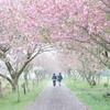 八重桜の小路