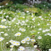 Garden of Daisy