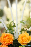 Apricot RoseⅡ